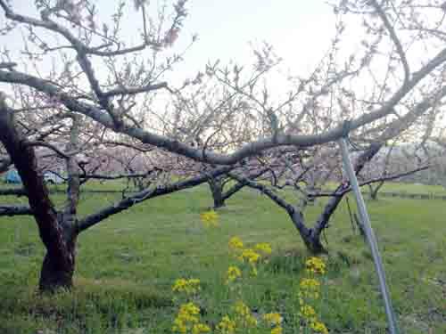 山梨市の桃