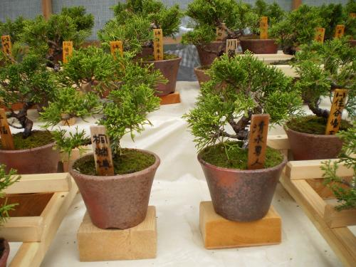 小学生の盆栽