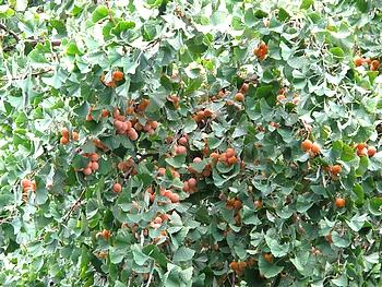 銀杏の実が沢山付いたイチョウの木