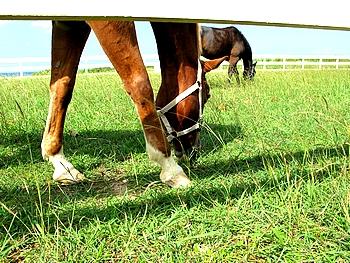 放牧されている2頭の馬