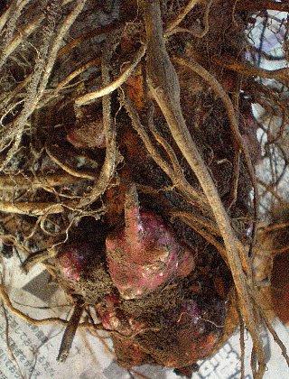 ヤーコン 塊茎