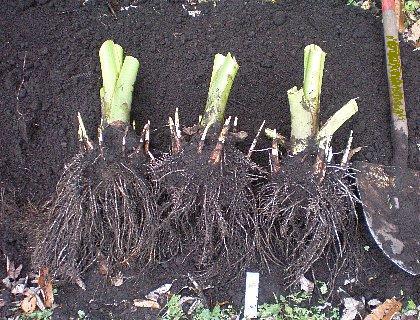 サトイモ土垂
