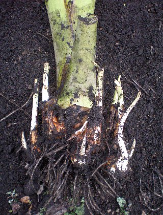 サトイモ土垂 芽が伸びちゃってますね