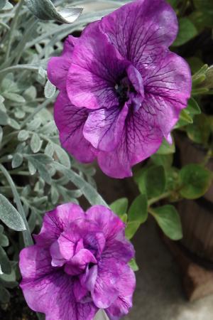 ペチュ紫11.6.24