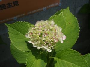 200907紫陽花2