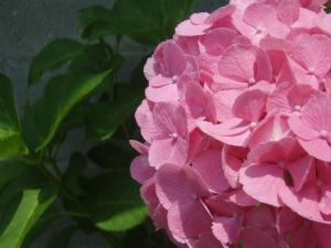 200907紫陽花