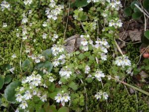 20090823-25ミヤマコゴメグサ