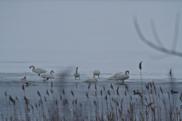 白鳥公園には白鳥がいません