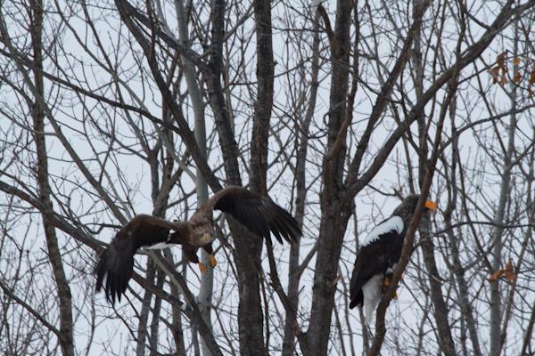 濤沸湖周辺の鷲たち