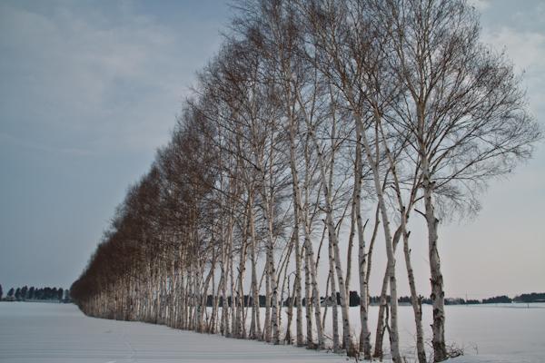 白樺の防風並木