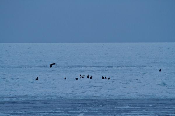 網走の海岸にもオオワシの群れが