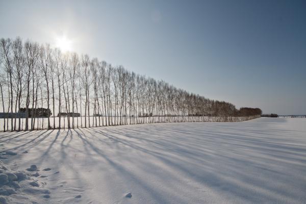 朝の白樺並木