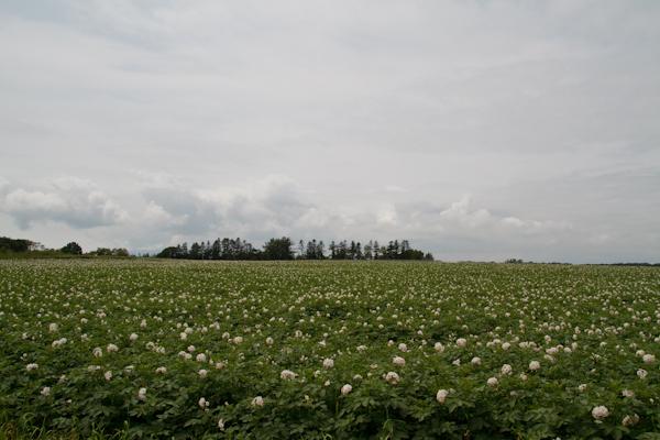 ジャガイモの花畑