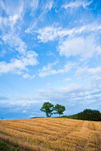 夫婦の木 (麦秋の終わり)