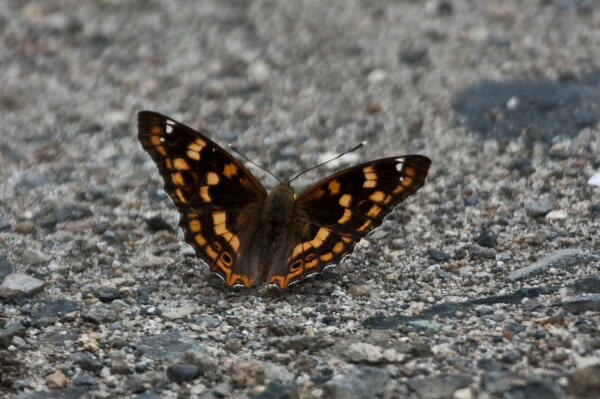 名前が分からない蝶