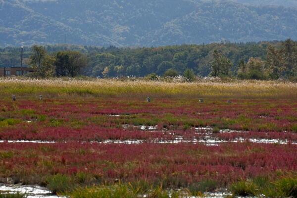 サロマ湖キムアネップのサンゴ草
