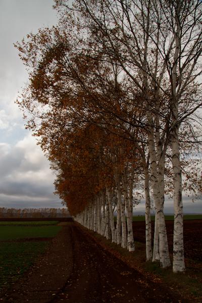 晩秋の白樺並木