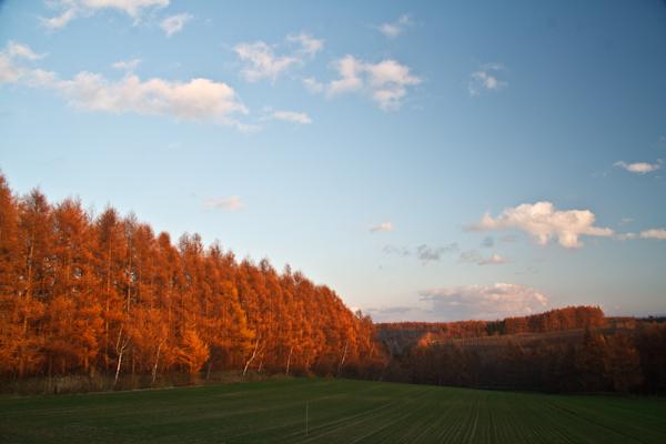 紅葉のカラ松の森