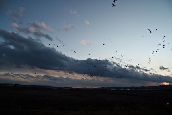 夕空に雁が