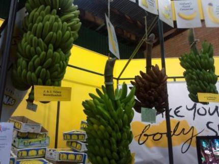 バナナぶらさがり