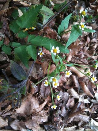 2011.11.4.小さな白い花IMG_3335 のコピー