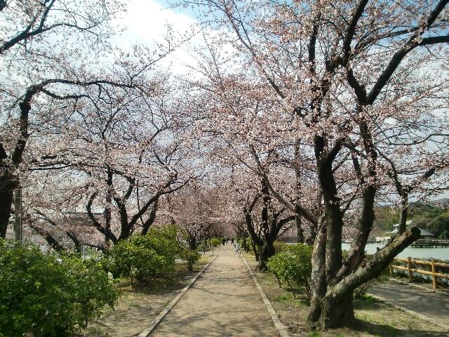 八条ヶ池桜並木