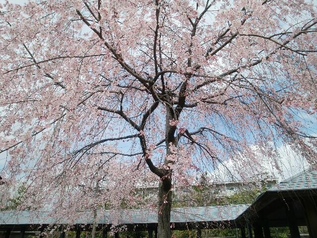 朱雀の庭の桜
