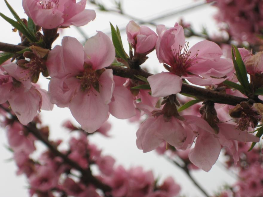 花の桃の花