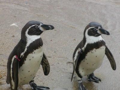 長崎ペンギン水族館 (9)