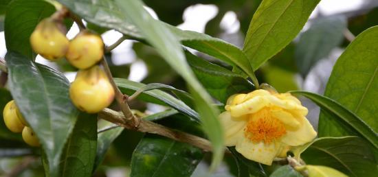 大島公園の金花茶  椿祭りは3月18日まで