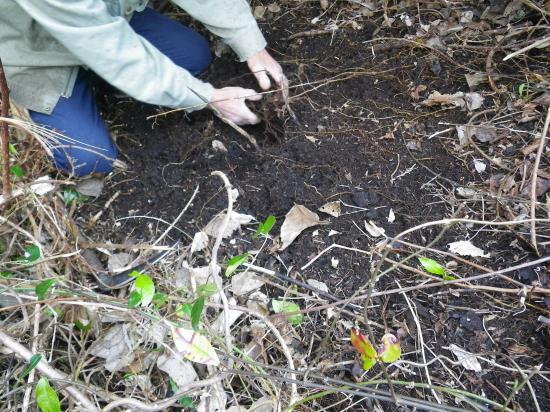 枯れ葉をよけてアズの根を探す
