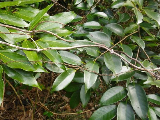 常緑樹の葉の上に置いた薯のつる2本とアズの細い根