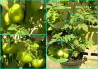 tomato4.5