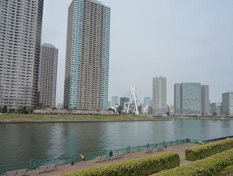 桜の名所 石川島