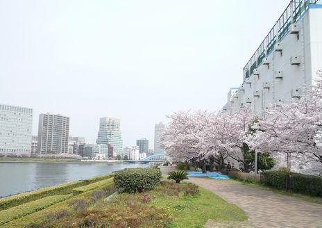 桜、越中島