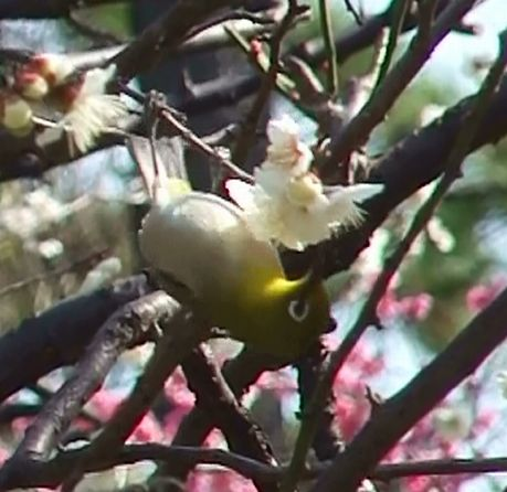 梅に小鳥が1