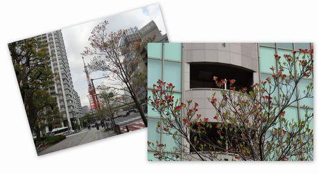 三田通りは港区の花「ハナミズキ」