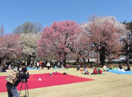 各種桜が満開