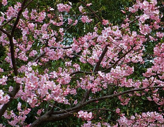 三 三 お寺の彼岸桜 アップ