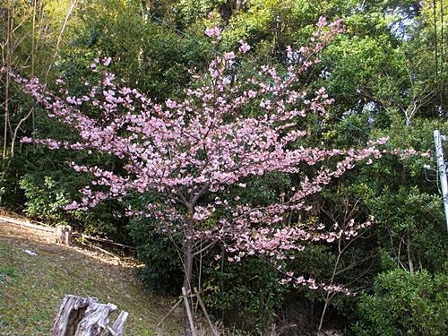 三 三 お寺の彼岸桜 一