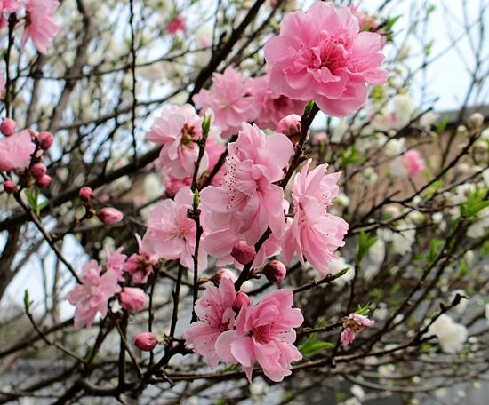 桃ピンクの花アップsss