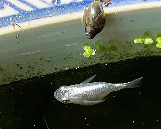 ダルマミユキと貝