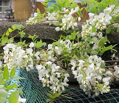 藤の花 池