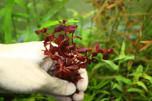 ルドウィジアsp.スーパーレッド 東海 岐阜 熱帯魚 水草 観葉植物販売 Grow aquarium