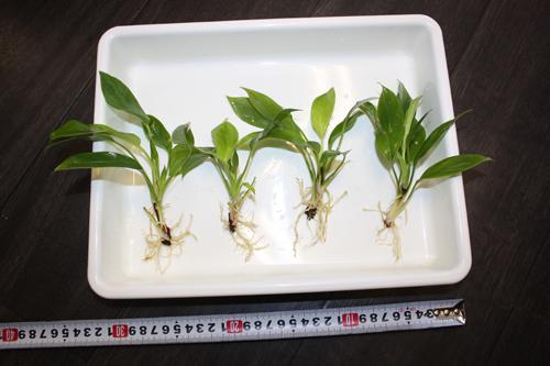 アグラオネマ シンプレックス 東海 岐阜 熱帯魚 水草 観葉植物販売 Grow aquarium