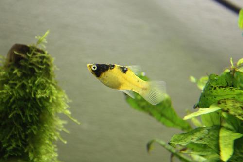 バンブルビープラティー ゴールデンパンダ 東海 岐阜 熱帯魚 水草 観葉植物販売 Grow aquarium
