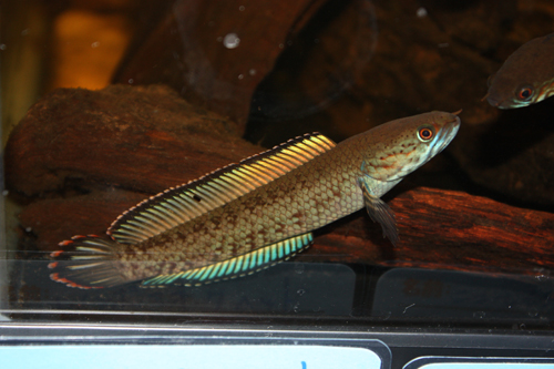 ニューレインボースネークヘッド 東海 岐阜 熱帯魚 水草 観葉植物販売 Grow aquarium