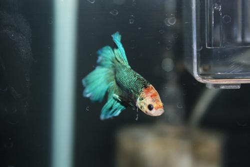 ベタ スーパーデルタ ホワイトフェイスグリーン ペア 東海 岐阜 熱帯魚 水草 観葉植物販売 Grow aquarium