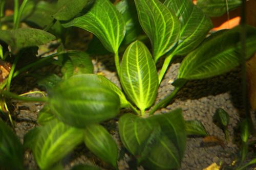 エキノドルス オパクス 東海 岐阜 熱帯魚 水草 観葉植物販売 Grow aquarium