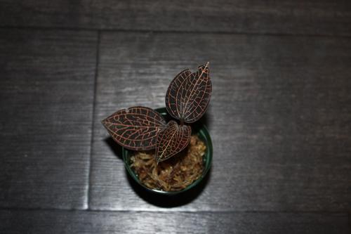 Anoectochilus albolineatus アネクトキルス アルボリネータス ジュエルオーキッド Jewel Orchid 東海 岐阜 熱帯魚 水草 観葉植物販売 Grow aquarium